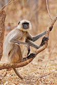 Gray Langur also known as Hanuman Langur in the Bandhavgarh National Park in India. Bandhavgarh is located in Madhya Pradesh. Indian langurs are lanky, long-tailed monkeys. — Stock Photo