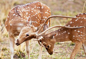 Chital or cheetal deers (Axis axis), also known as spotted deer or axis deer in the Bandhavgarh National Park in India. Bandhavgarh is located in Madhya Pradesh. — Stock Photo