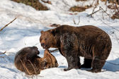 Brown Bears (Ursus arctos) in the Bayerischer Wald National Park, Bayern, Germany — Stock Photo