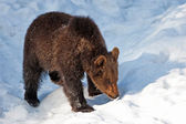 Young Brown Bear (Ursus arctos) in the Bayerischer Wald National Park, Bayern, Germany — Stock Photo