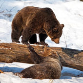 Brown Bears (Ursus arctos) in the Bayerischer Wald National Park, Bayern, Germany — Foto de Stock
