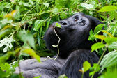 One of the most endangered animals, a great silverback Mountain Gorilla, in the Bwindi National Park in Uganda. — Foto Stock
