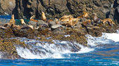 Sea lions, Channel Islands National Park, California, USA — Stock Photo