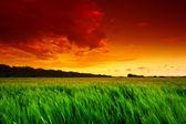 Green wheat field at sunset — Stock Photo