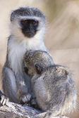 Monkey in Lake Manyara National Park - Tanzania — Stock Photo