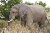 African elephant in Kruger National Park, South Africa — Stok fotoğraf