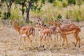 Female impala antelopes, Kruger National Park, South-Africa — Stock Photo