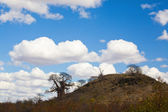 African landscape with baobab tree in Kruger National Park, South Africa — Stock Photo