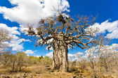 African baobab tree in Kruger National Park, South Africa — Stock Photo