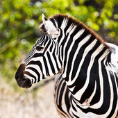 Zebra in Kruger National Park, South Africa — Stock Photo