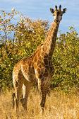 Giraffe (Giraffa camelopardalis) in Kruger National Park, South Africa — 图库照片