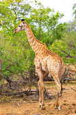 Giraffe (Giraffa camelopardalis) in Kruger National Park, South Africa — Stockfoto