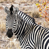 Plains Zebra (Equus Quagga) on Savannah, Maasai Mara, Kenya — Stockfoto