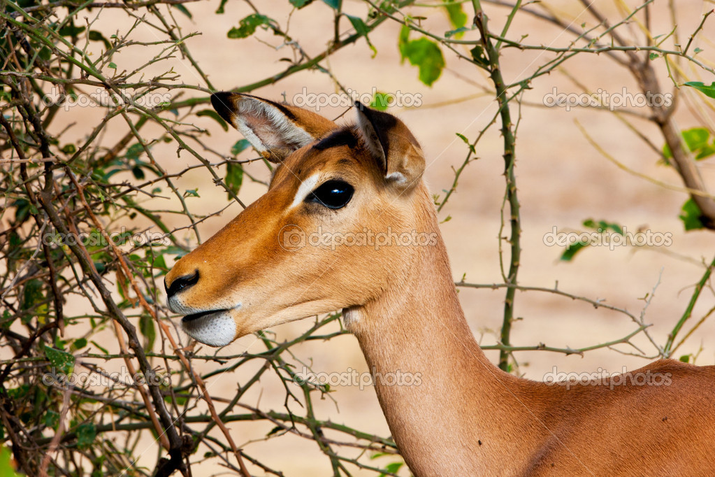 Female impala antelope, Kruger National Park, South Africa — Stock Photo #17632875