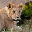 African Lioness in the Maasai Mara National Park, Kenya - Stock Photo