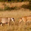 Photo: AfricLionesses in Maasai MarNational Park, Kenya
