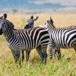 Zebras in National Park in Kenya, Africa — Stock Photo #17641665