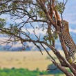Stockfoto: Wild leopard with its prey, an impala antelope on a tree in Maasai Mara, Kenya, Africa