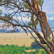 Wild leopard with its prey, an impala antelope on a tree in Maasai Mara, Kenya, Africa - Stock Photo