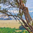 Wild leopard with its prey, an impala antelope on a tree in Maasai Mara, Kenya, Africa — Stock fotografie #17641697