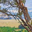 lamparty ze swoją zdobyczą, antylop impala na drzewie w maasai mara, Kenii, Afryka — Zdjęcie stockowe