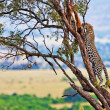 Wild leopard with its prey, an impala antelope on a tree in Maasai Mara, Kenya, Africa — Foto Stock