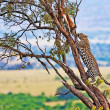 Wild leopard with its prey, an impala antelope on a tree in Maasai Mara, Kenya, Africa — Stock fotografie #17641717