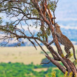 Wild leopard with its prey, an impala antelope on a tree in Maasai Mara, Kenya, Africa — Stockfoto #17641719