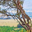 Wild leopard with its prey, an impala antelope on a tree in Maasai Mara, Kenya, Africa — Stock fotografie #17641719