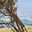 Wild leopard with its prey, an impala antelope on a tree in Maasai Mara, Kenya, Africa — Stock fotografie #17641727