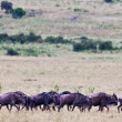 Wildebeests on Maasai Mara, Kenya — Stock Photo #17641733