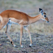 Impala Antelope - Maasai Mara National Park in Kenya, Africa - Stock Photo