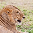 Male African Lion in the Maasai Mara, Kenya - Stock Photo