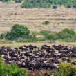 Great migration of wildebeest antelopes, Maasai Mara, Kenya — Stock Photo