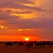 African sunset with Blue Wildebeests - Maasai Mara National Park in Kenya, Africa — Stock Photo