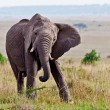 Elephant feeds on the plains of the Masai Mara — Stock Photo