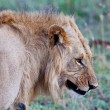African Lion in the Maasai Mara National Park, Kenya — Stock Photo