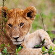 Lion cub on plains of Maasai Mara, Kenya — Stock fotografie #17642187