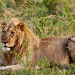 Male African Lion in the Maasai Mara, Kenya — Stock Photo