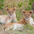 Foto Stock: Young male AfricLion and Lioness in Maasai MarNational Park, Kenya
