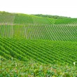Vineyard in Pfalz, Germany - Stock Photo