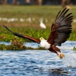 African fish eagle, Naivasha Lake National Park, Kenya — Stock Photo #17642711