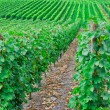 Vineyard in Pfalz, Germany — Foto Stock