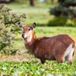 Female waterbuck, Lake Naivasha. Africa. Kenya — Stock Photo #17642759