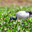 Africsacred ibis (Threskiornis aethiopicus), Lake Naivasha, Kenya — Stock Photo #17642761