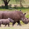 Stock Photo: White rhinoceros or square-lipped rhinoceros (Ceratotherium simum) with her baby in Lake Nakuru National Park, Kenya.