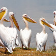 Great white pelicans in Lake Nakuru National Park - Kenya, Africa. Great White Pelic(Pelecanus onocrotalus) is also known as Eastern White Pelican, Rosy Pelicor White Pelican. — Stock Photo #17642937