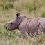 White rhinoceros or square-lipped rhinoceros (Ceratotherium simum) baby in Lake Nakuru National Park, Kenya. — Stock Photo #17642961
