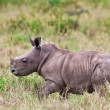 White rhinoceros or square-lipped rhinoceros (Ceratotherium simum) baby in Lake Nakuru National Park, Kenya. — Stock Photo #17642985