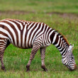 Zebra crossing a river in the Lake Nakuru National Park, Kenya — Stock Photo